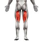 Anatomia dei muscoli posteriori della coscia